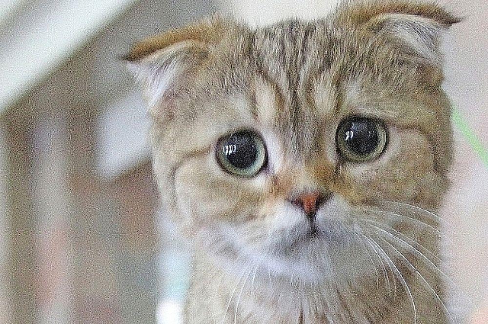 В ДК «Ростсельмаш» состоялась международная выставка кошек «Осенний кот».