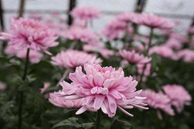 Редкие сорта хризантемы вырастили в Иркутске.