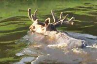 За отстрел пяти лосей тюменских браконьеров оштрафовали на 300 тысяч рублей