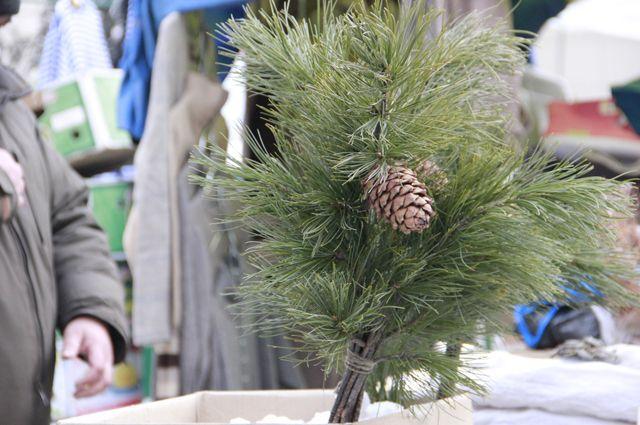 Стала известна дата начала реализации новогодних елок вСамаре