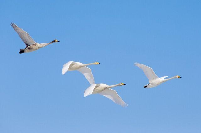 Сотни лебедей слетелись нанезамерзающие озера Алтая