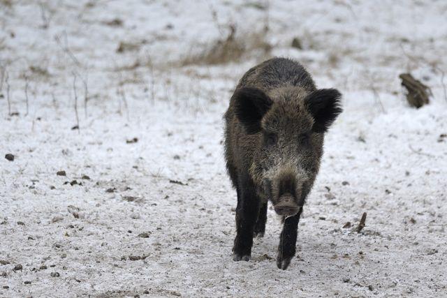 В Калининградской области планируют запретить охоту на кабанов.