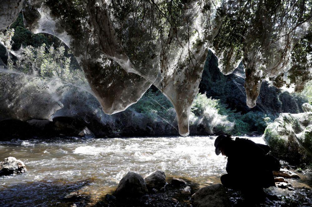 7 ноября. Исследователь арахнидов Игорь Армикач из Еврейского университета изучает гигантскую паутину, почти полностью покрывшую деревья вдоль берега реки Сорек около Иерусалима.