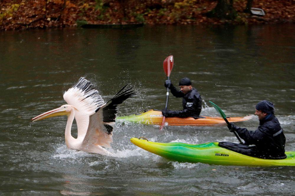 6 ноября. Работники зоопарка в Либереце, Чехия, ловят пеликана, чтобы переместить его в зимний вольер.