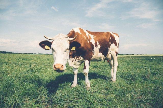 Тюменец, продавший женщине больную корову, заплатит вдвойне