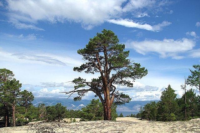 Это уже второе дерево на Ольхоне, внесенное в национальный список старовозрастных деревьев.