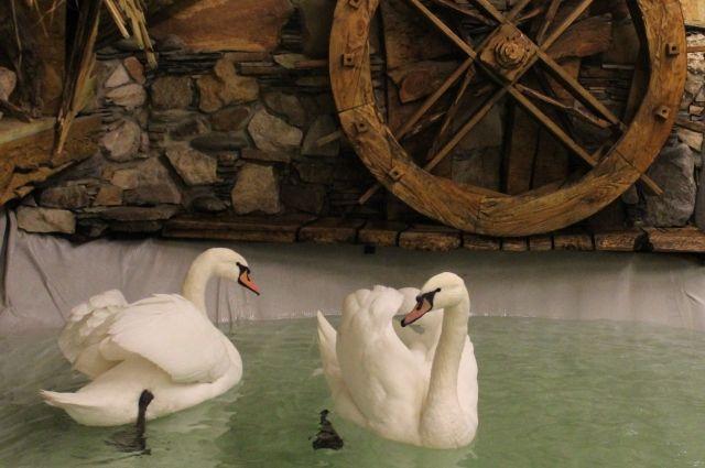 ВВоронежском зоопарке поселилась пара белых лебедей