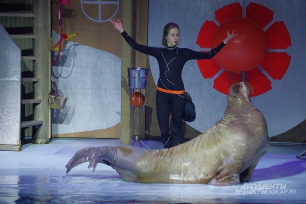 Звезда шоу морских млекопитающих - моржиха Тика. Ну, очень любит выступать!