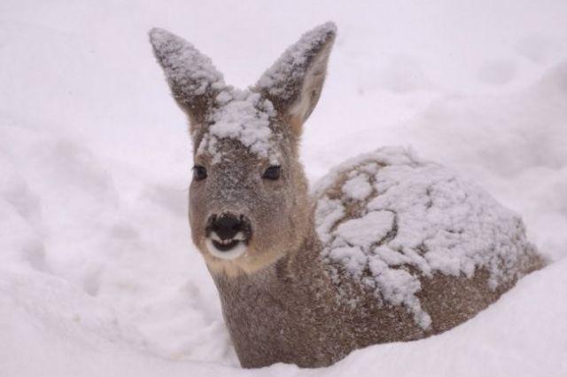 По подсчётам управления по охране животного мира на территории Омской области обитает 20 138 косулей.