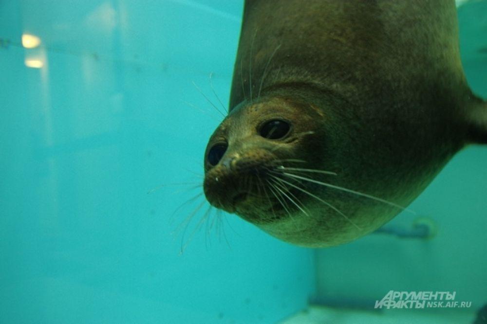 В глазах морского котика и доброта, и полная свобода покорят морские просторы. Не об этом ли мечтают люди?