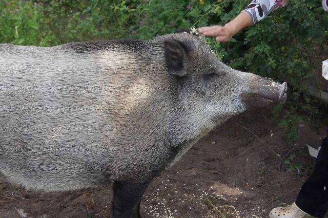 Новая вспышка АЧС вдикой фауне зарегистрирована натерритории Нижегородской области