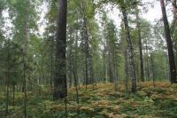 Мужчину ищут в лесу около посёлка Лысьва в Усольском районе.