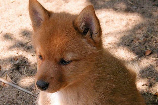 Изпетербургской квартиры злоумышленники похитили породистого щенка карело-финской лайки