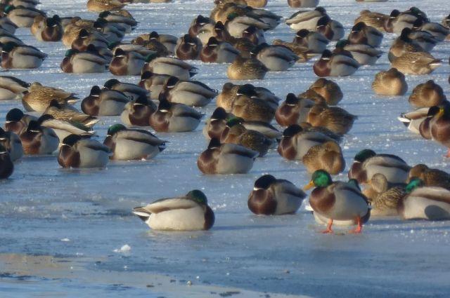 Озера земерзают, а утки всё равно не хотят улетать.