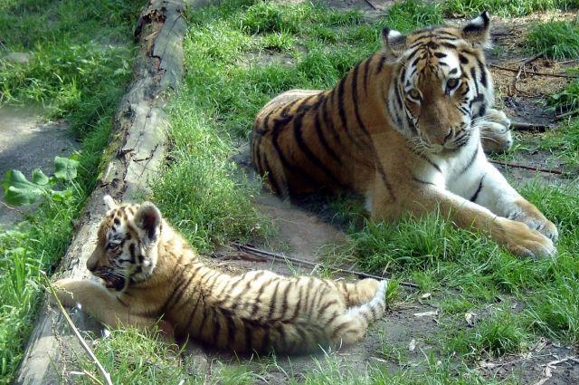 Шесть амурских тигрят родились всафари-парке вКрыму