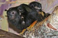 Первые два месяца маленькие тамарины проведут на спине у своего отца.