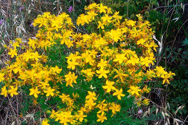 Какие лекарственные травы помогут справиться с болезнями суставов?