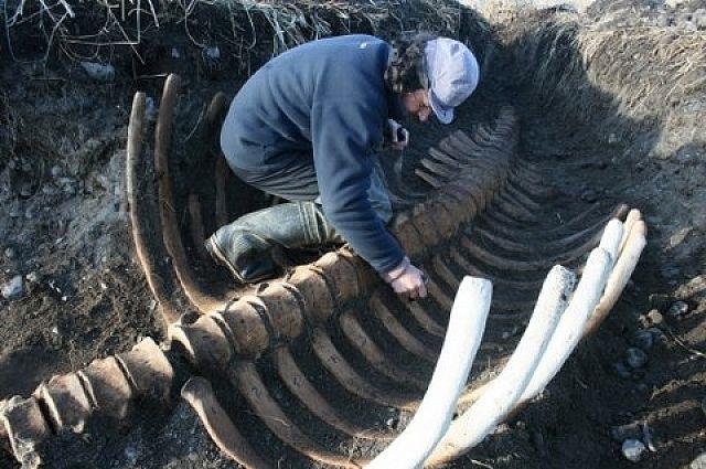 НаКамчатке обнаружили скелет вымершей морской коровы Стеллера