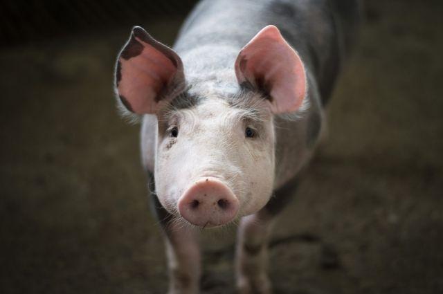 В Ноябрьске по дворам ищут свиней