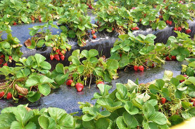 Япония планирует выращивать клубнику на Южных Курилах - СМИ