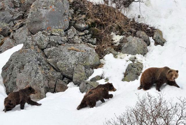 Рядом со Старым Надымом гуляет семья медведей
