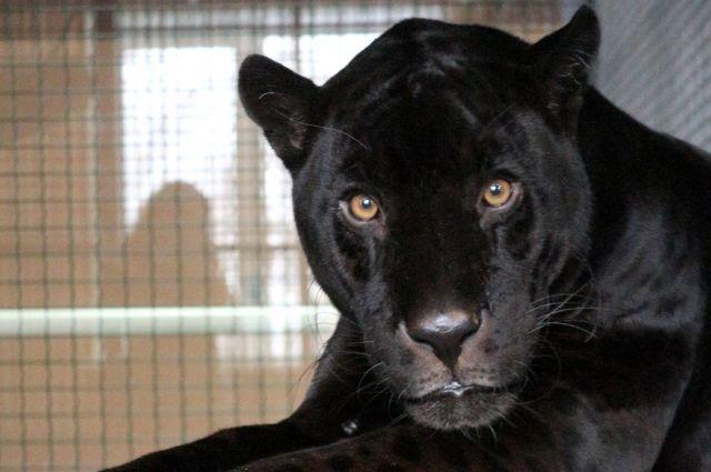 Яго уже адаптировался в красноярском зоопарке.