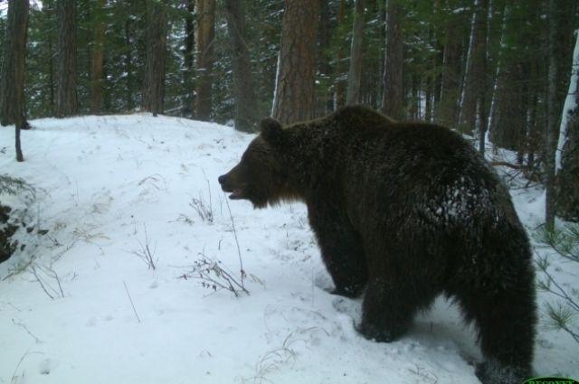 Средняя дата залегания медведей в спячку в заповеднике – 27 октября.