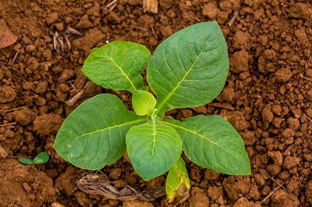 Можно ли выращивать дома табак?