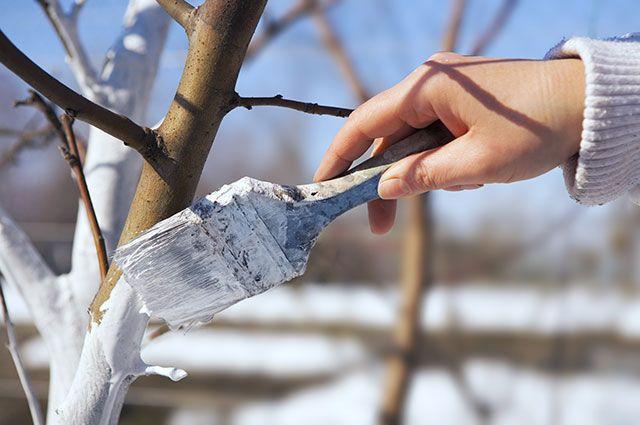 Какие деревья и кустарники нужно белить осенью?