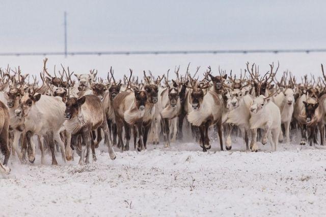 На Ямале дикие олени увели домашних самок из стада