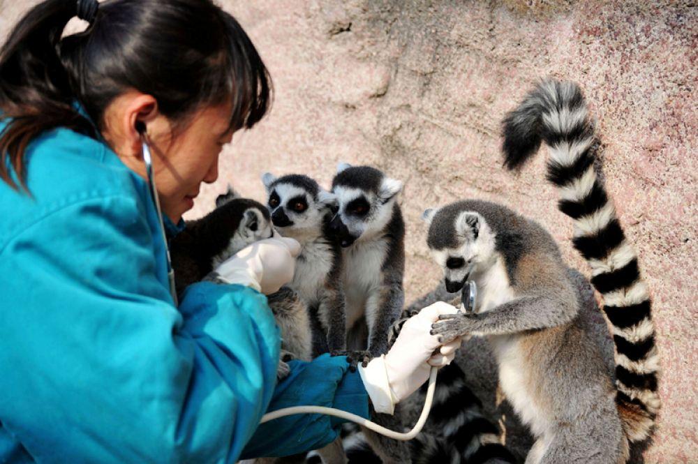 21 ноября. Ветеринар осматривает лемура в парке дикой природы в Циндао, Китай.