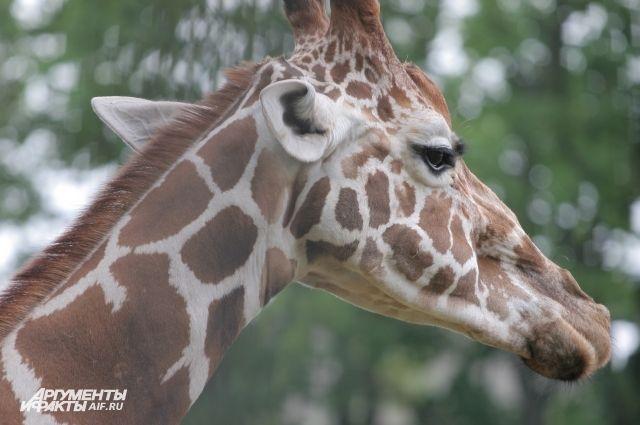 В зоопарке Калининграда родился жираф.