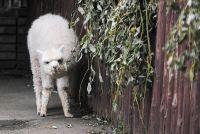 Детёныш альпака в Московском зоопарке.