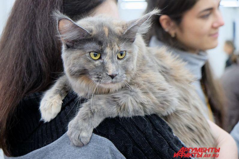 Посетители увидели мейн-кунов, шотландских вислоухих, сиамских, канадских сфинксов,  британских короткошёрстных и кошек других пород.