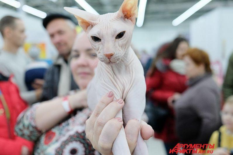 Хозяева достают кошек и выставляют их перед публикой на показ.
