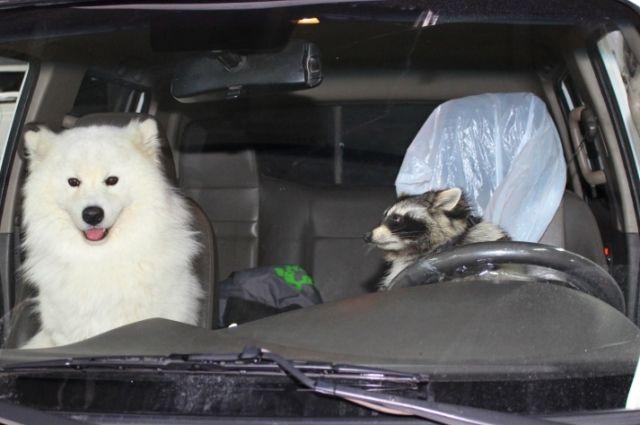 Лайка и енот показали, как нужно вести себя в машине.