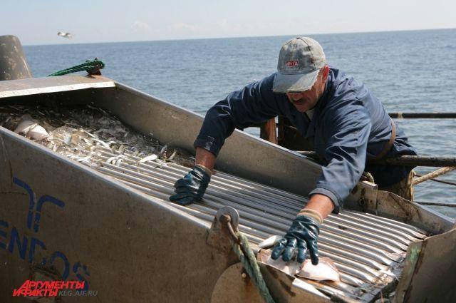 Килька и салака - основные виды на прибрежном промысле.