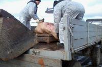 В посёлке Тимирязевский уничтожено более 300 голов свиней