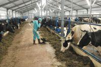 Новая ферма, которую построили за полгода, позволит хозяйству увеличить дойное стадо и выпуск молочной продукции.