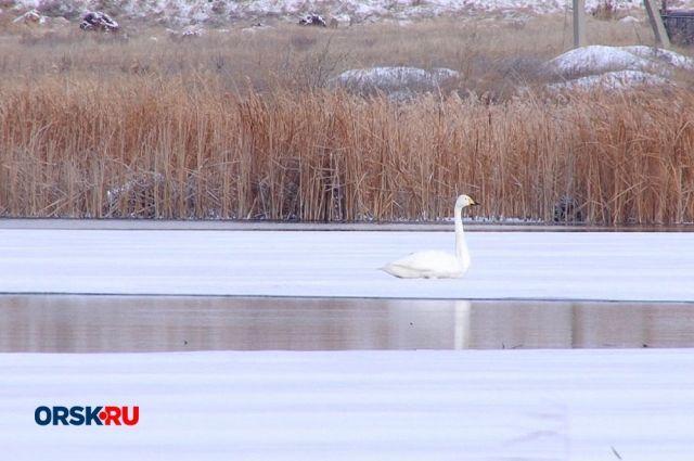 Под Новотроицком спасают одинокого лебедя, не улетевшего на юг.