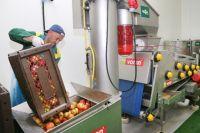 Калининградские производители отправили в ЕС первую партию яблочного сока.