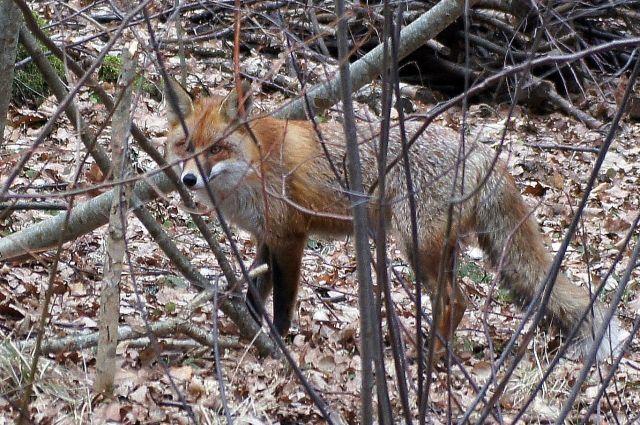 Павшую бешеную лисицу отыскали влесу вРостовской области