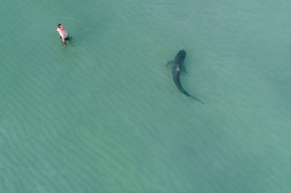 24 ноября. Человек купается в море, в то время как мимо проплывает тигровая акула, Майами-Бич, США.