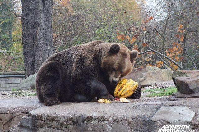 Один из главных символов зоопарка - бурый медведь.