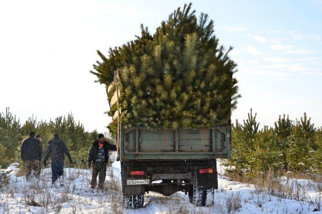В тёплую погоду в один грузовик помещается до ста сосен.