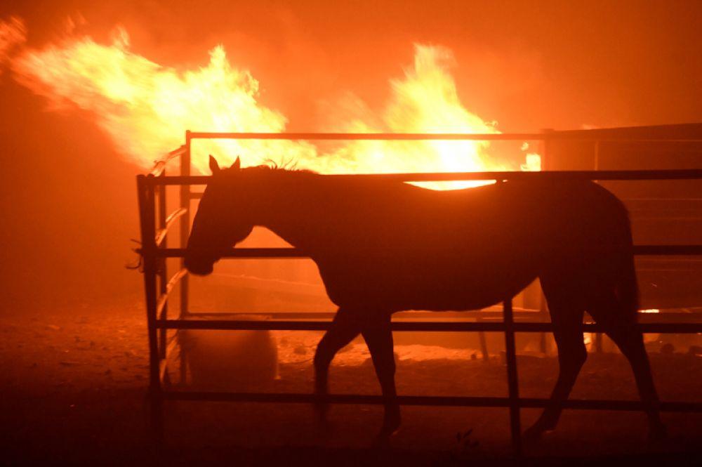 Лошадь после пожара, разразившегося в районе Кагел-Каньона в долине Сан-Фернандо к северу от Лос-Анджелеса.