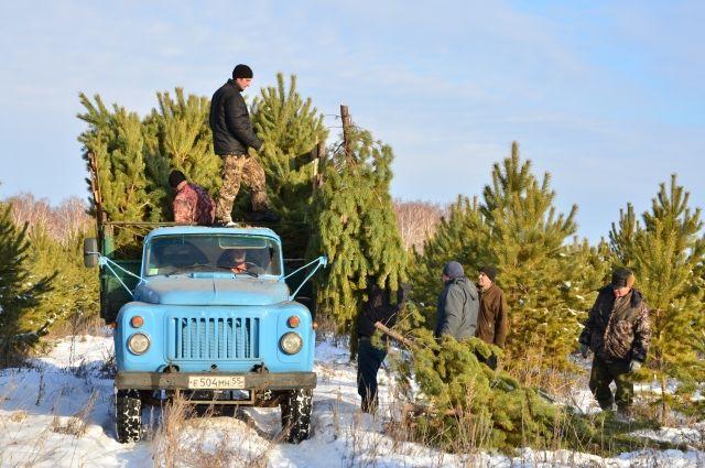 Лесоводы активно начали заготавливать деревья на Новый год