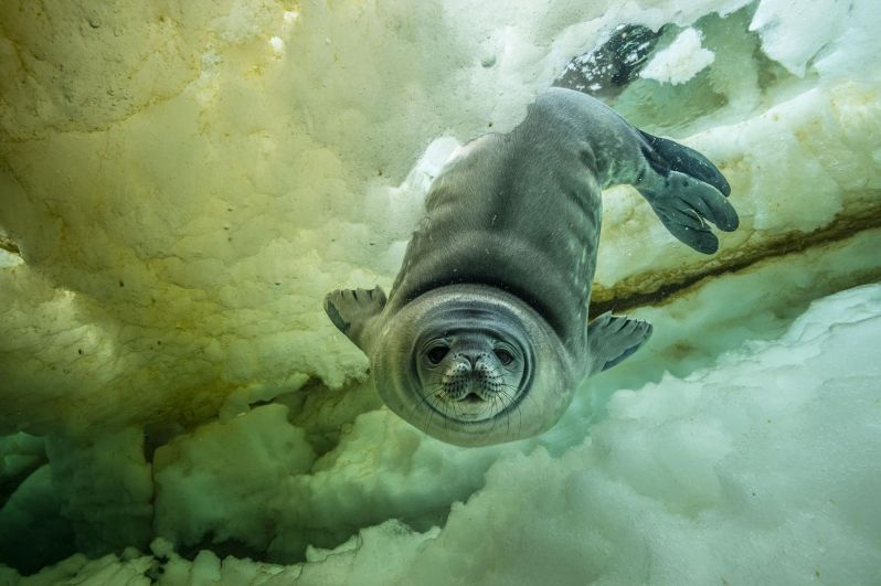Молодой тюлень в Уэделле, который возможно совершает первое в своей жизни плаванье.