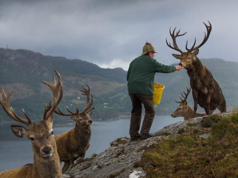 Колин Мердок, который управляет населением оленей в Лесу Ререйга, недалеко от Лох-Каррона, Шотландия, кормит оленей, чтобы стимулировать рост рогов.