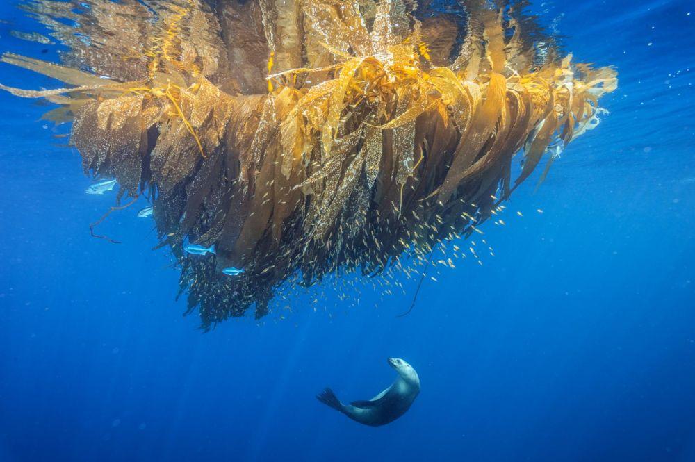 Калифорнийский морской лев охотится за рыбой.